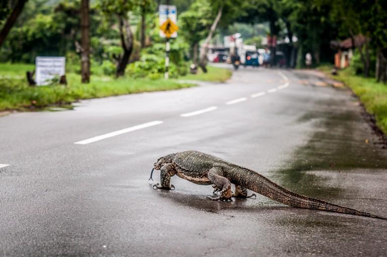 Iguana Sri Lanka