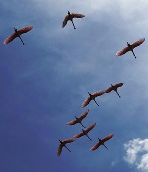 Colombia La Guajira. Fenicotteri in volo.