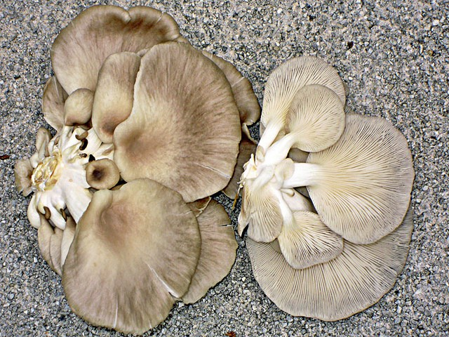 i funghi coltivati del supermercato