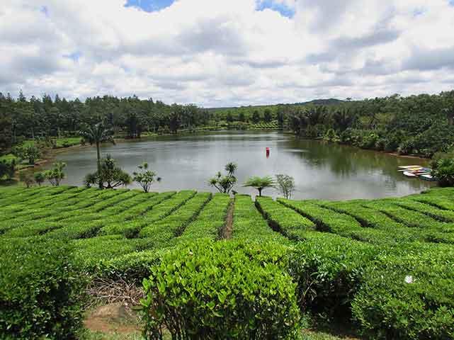 Piantagione di thè di Bois Cheri sull'isola di Mauritius