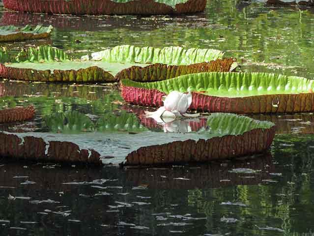 Visitare il Sir Seewoosagur Ramgoolam Botanical Gardens è una delle cose da fare Mauritius